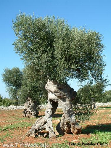 Olio di oliva in puglia a torre vado for Albero ulivo vettoriale